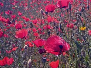 poppies_©LondonSE4