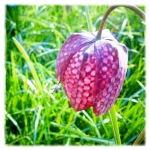 Fritillaria©LondonSE4